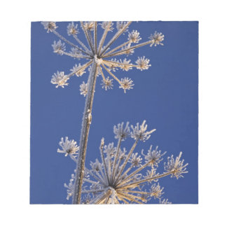 Skyward view of Cow Parsnip in winter covered in Notepad