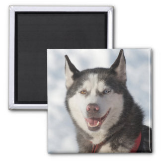 Sled Dog Portrait Magnet