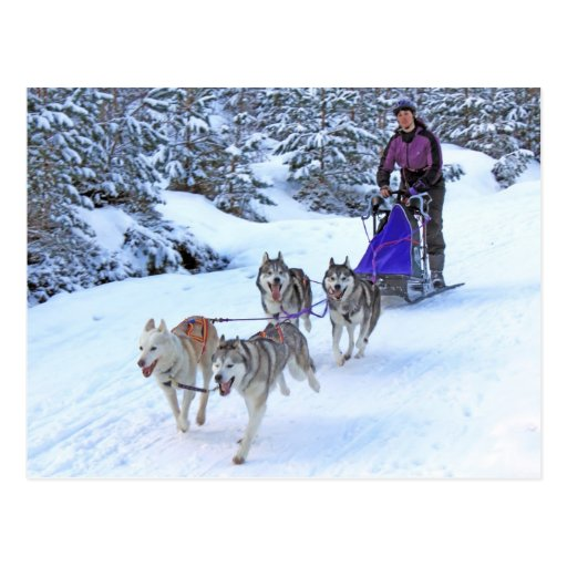 Sled Dog Racing Post Cards