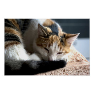 Sleeping Calico Cat Poster