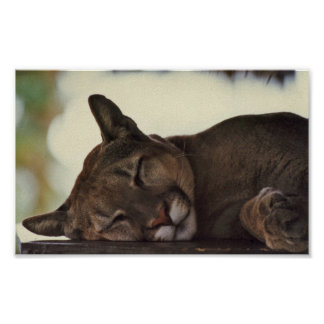 Sleeping Cougar Print