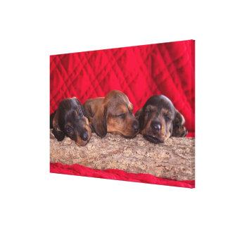 Sleeping Doxen Puppies Canvas Print