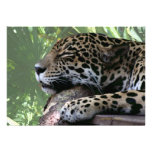 Sleeping Florida jaguar , light green frond back Invites