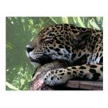 Sleeping Florida jaguar , light green frond back Postcard