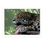 Sleeping Florida jaguar , light green frond back Post Cards