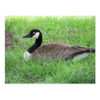 Sleeping Goose Postcard