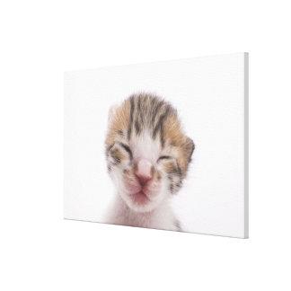 Sleeping kitten, close-up of head canvas print