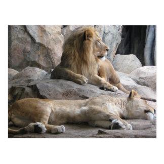 Sleeping Lions Photograph Postcard