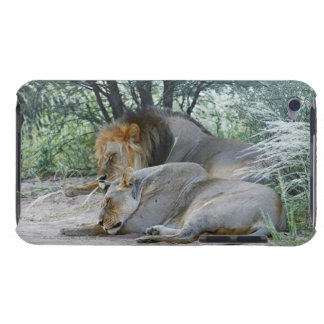 sleeping male lion and lioness, Panthera leo, iPod Touch Cases