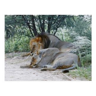 sleeping male lion and lioness, Panthera leo, Postcard