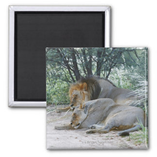 sleeping male lion and lioness, Panthera leo, Square Magnet