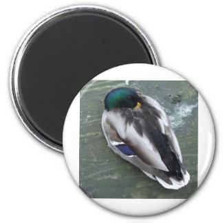Sleeping Mallard 6 Cm Round Magnet