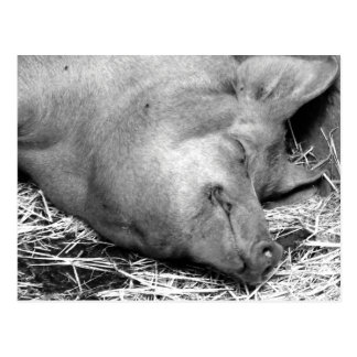 Sleeping Pig Black and White Photo Postcard