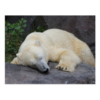 Sleeping Polar Bear Postcard