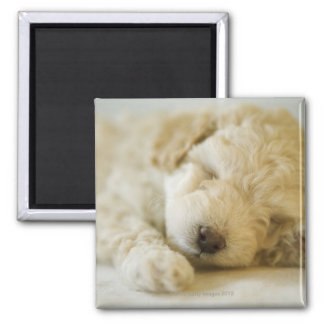 Sleeping Poodle puppy 2 Magnet