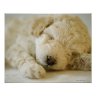 Sleeping Poodle puppy 2 Poster