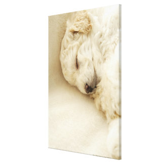 Sleeping Poodle puppy Canvas Print