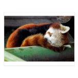 Sleeping Red Panda Postcard