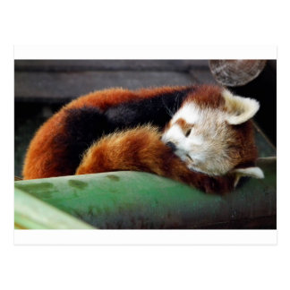 Sleeping Red Panda Postcard