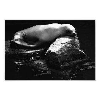 Sleeping Sea Lion .1781 Photographic Print