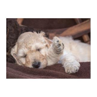 Sleeping Standard Poodle puppy Acrylic Print