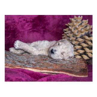 Sleeping Standard Poodles Puppy Postcard