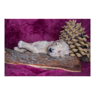 Sleeping Standard Poodles Puppy Poster