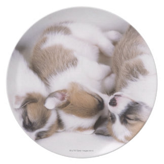 Sleeping welsh corgi puppies dinner plate