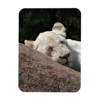 Sleeping White Lioness Rectangular Magnet