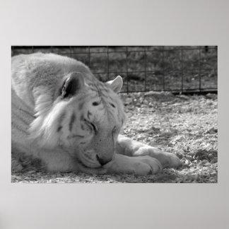sleeping white tiger bw photograph of huge cat print