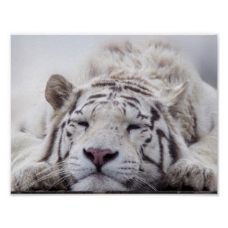 Sleeping White Tiger Poster