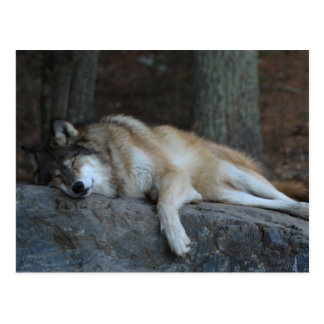 Sleeping Wolf of Northern Minnesota Postcard