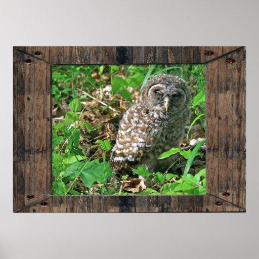 Sleepy Baby Barred Owl Poster