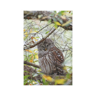 Sleepy Barred Owl Gallery Wrapped Canvas