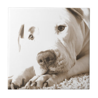 sleepy friendly white pitbull hate deed not breed small square tile