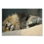 """Sleepy lion sticking out the tongue 6X4"""" Poster"""