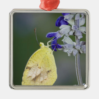 Sleepy Orange, Eurema nicippe, adult on Mealy Christmas Ornament