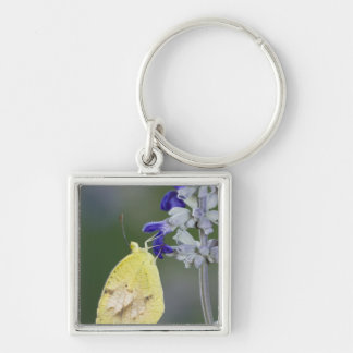 Sleepy Orange, Eurema nicippe, adult on Mealy Silver-Colored Square Key Ring