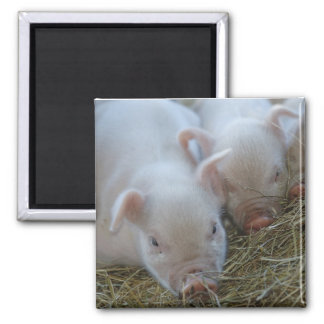 Sleepy Piglets Square Magnet