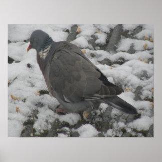 Sleepy Wood Pigeon Print