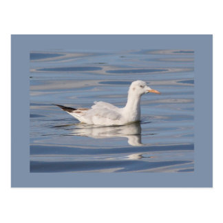 Slender-billed Gull Postcard
