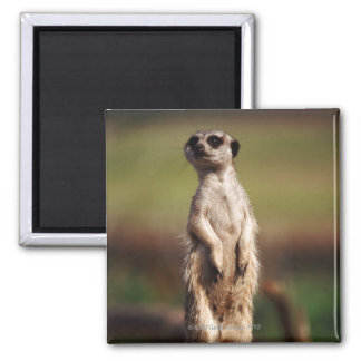 slender-tailed meerkat square magnet