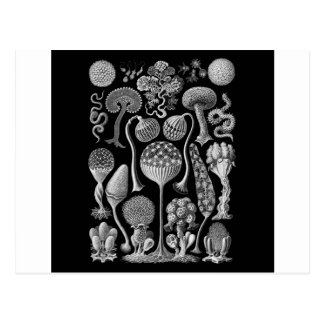 Slime Molds in Black and White Postcard