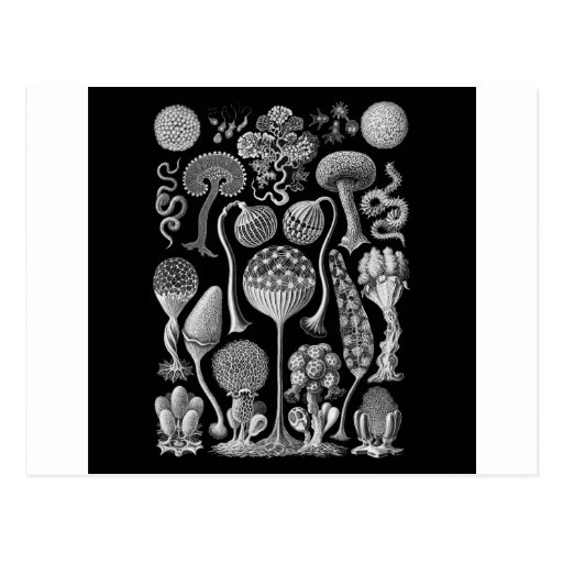 Slime Molds in Black and White Post Card