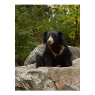Sloth Bear Photo Poster