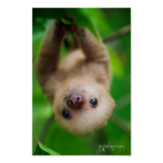 Sloth Poster