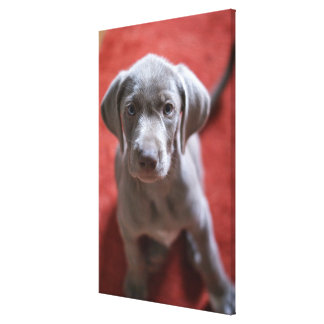 Slovakian Rough Haired Pointer 2 Canvas Print
