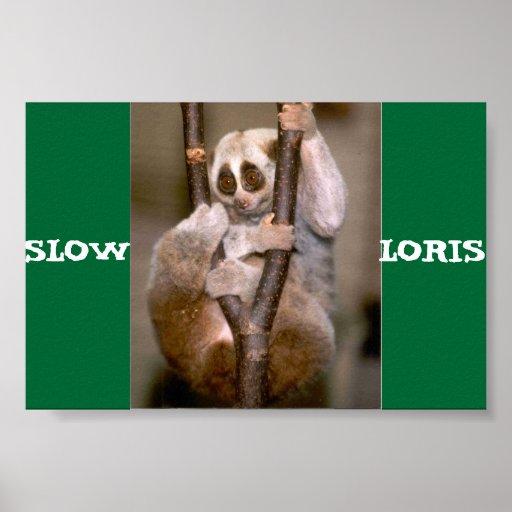 Slow Loris Poster
