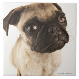 Small breed of dog with short muzzled face large square tile