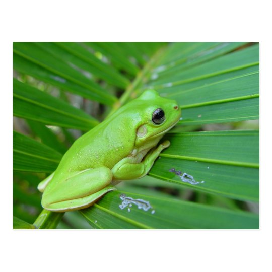 Small Green Frog Postcard